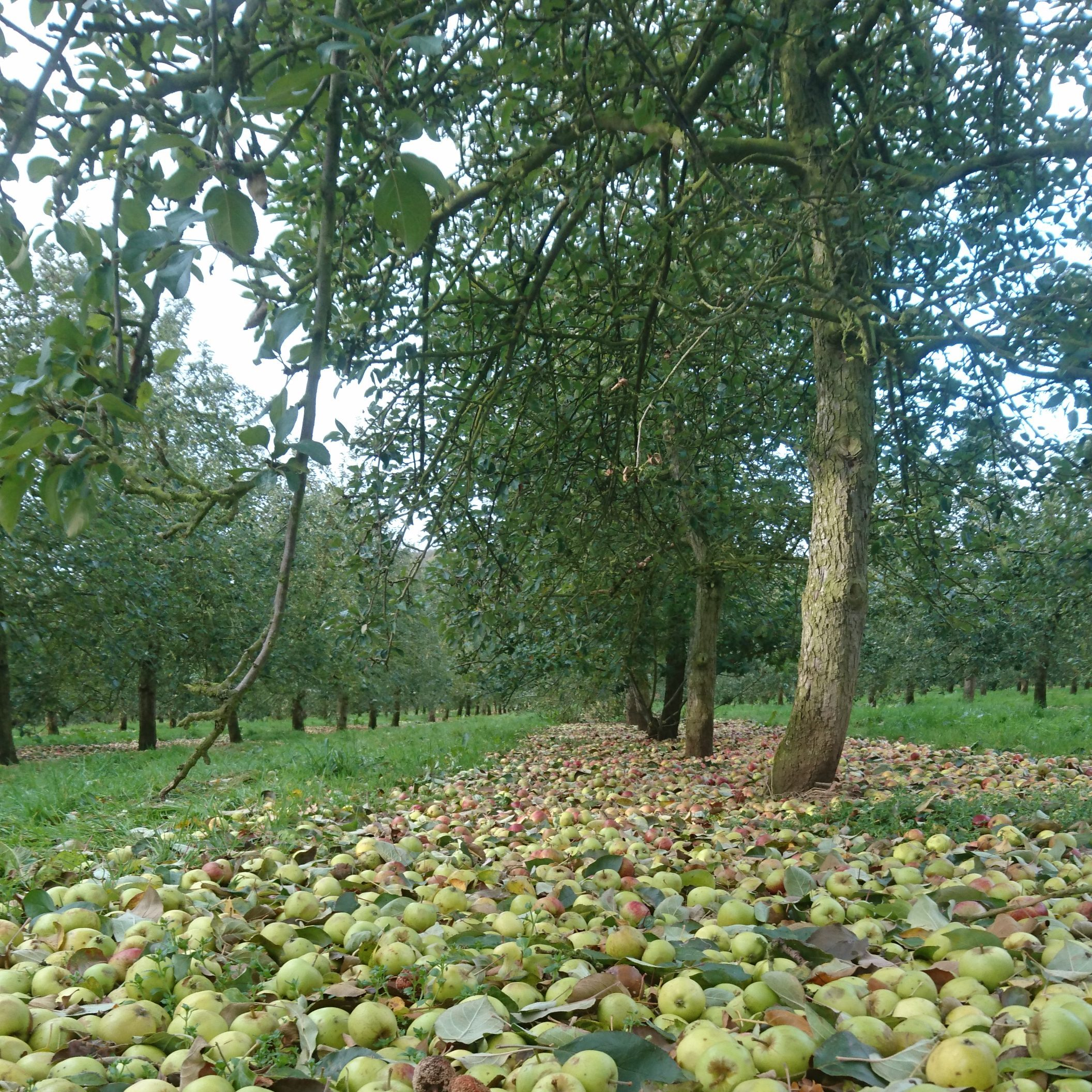 Windfall for cider orchard owners