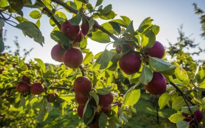 Thatchers offers apple trees to community projects